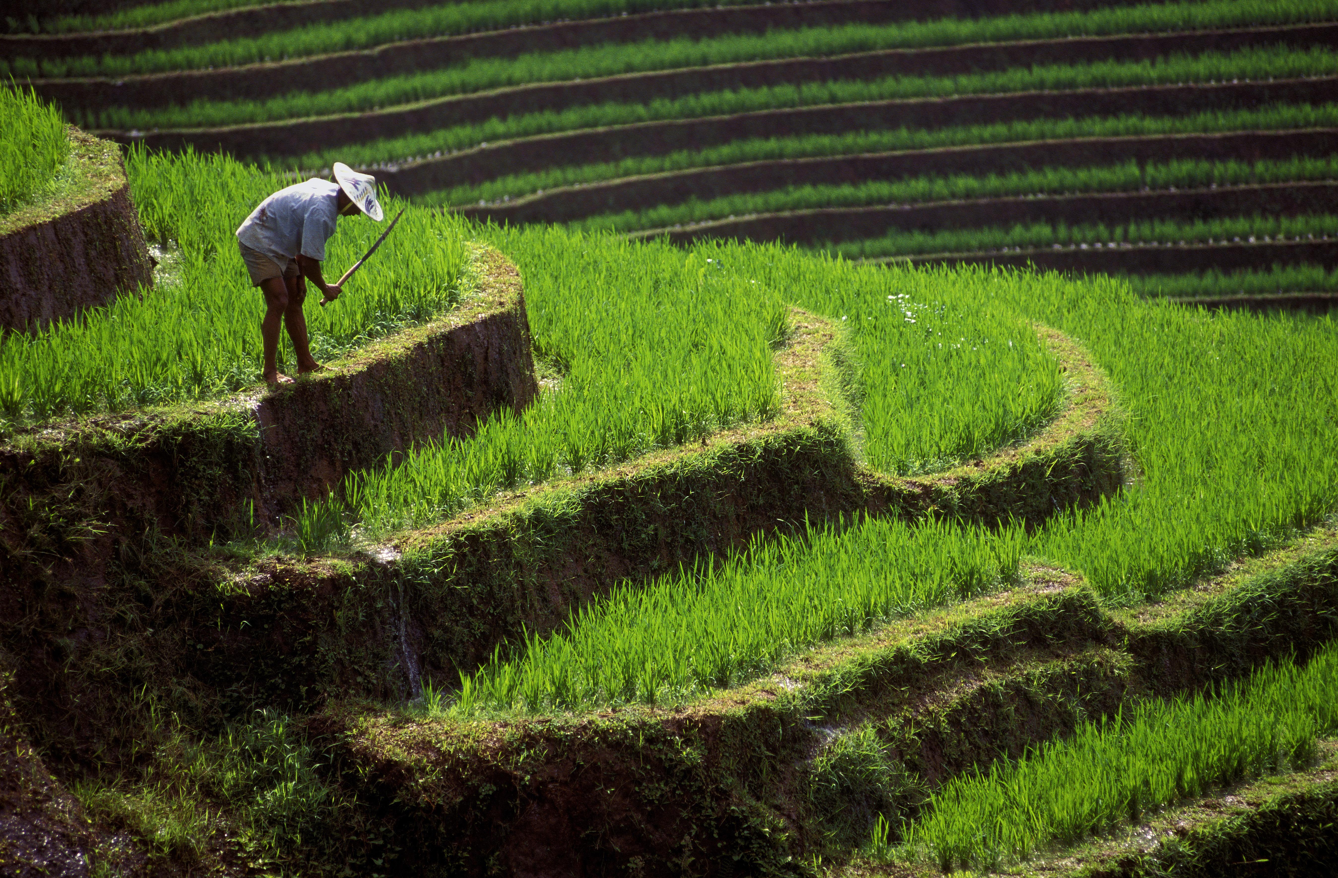 Indonesien Gruppenreise -Indonesien Bali Sulawesi Rundreise -Farmarbeiter auf Reisterrassen Zentralbali - Bali Indonesien